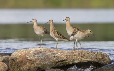 Turvetuotannon vaikutuksia linnustoon ei selvitetä riittävästi