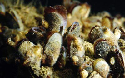 25 vuoden seuranta Itämeressä hälyttää:  lämmin ja makea vesi uhkaa sinisimpukoita